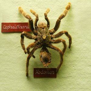 Ceratogyrus Baboon Spider