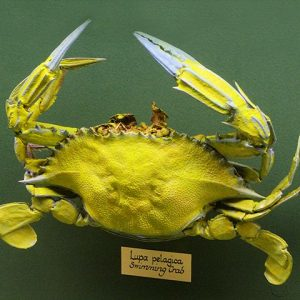 Lupa Pelegica Sea Crab