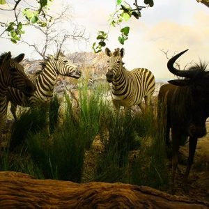 Zebra's are bulk feeders in the ecosystem