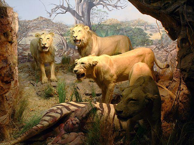 Lions on a zebra kill in the Lowveld Zimbabwe