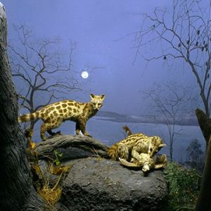 Genets in the moonlight in Zimbabwe