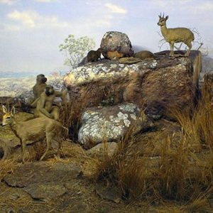Klipspringer in Brachystegia woodland Zimbabwe