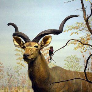 Kudu bull in mopane woodland, Zimbabwe